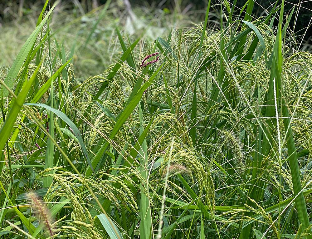 スパイラルガーデンの陸稲